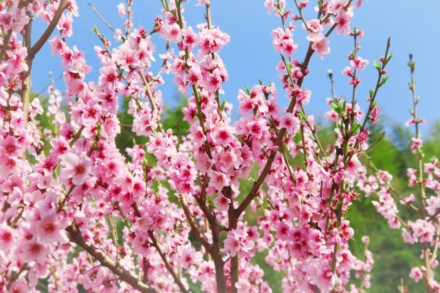 桃の花開花イメージ20180221