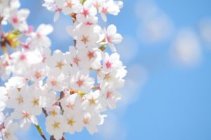 2018年桜の開花イメージ20180320