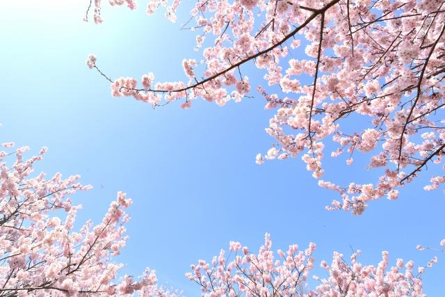 桜の花と青空イメージ20190329