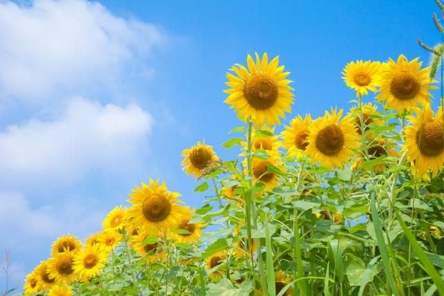 夏のひまわり畑イメージ20190731