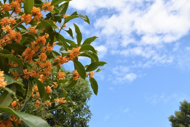 キンモクセイと空の空イメージ20191031