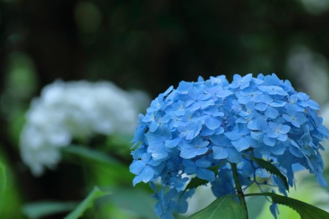 紫陽花の花のイメージ