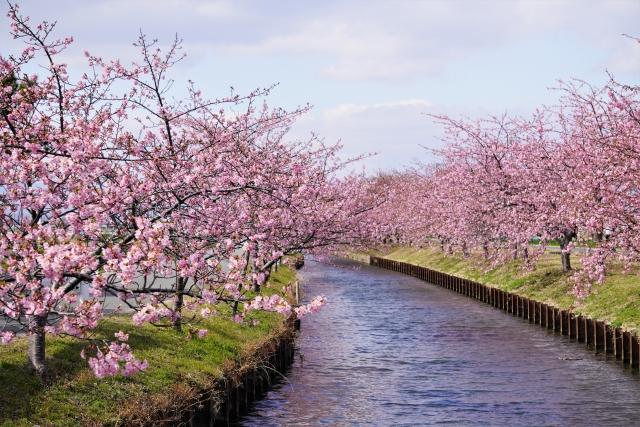 桜と用水路のイメージ20210317