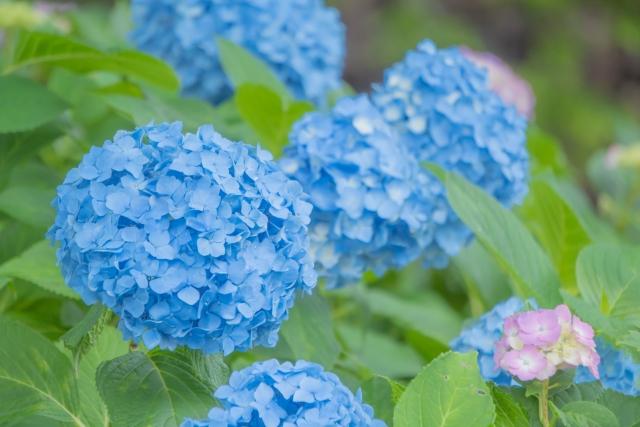 あじさいの花20210625